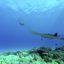 Tauchen mit Mantas an der Küste von Kona